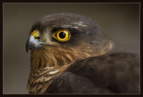 Baby sparrow hawk - photo#32