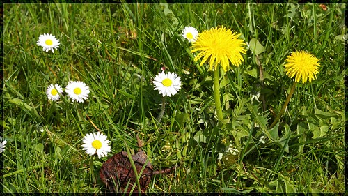 how to get rid of dandelions and daisies
