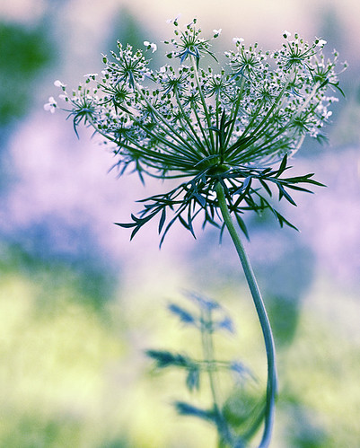 Queen Anne's Lace | by dog ma