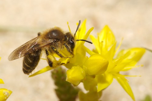 Andrena cfr barbilabris | by Nico's wild bees & wasps