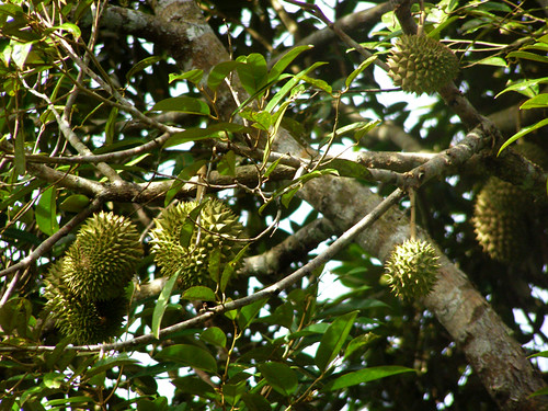 Durian Tree | by Amani Hasan