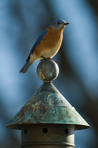 Bluebird - Explored | by Richard Weinreich