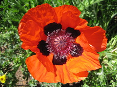 Mohn | by ruthug08(on and off)