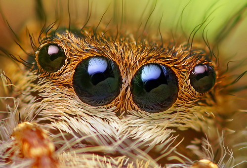 Anterior Median and Anterior Lateral Eyes of a Phidippus princeps Jumping Spider | by Thomas Shahan