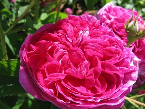 rosa 39 charles de mills 39 rose kingsbrae garden flickr. Black Bedroom Furniture Sets. Home Design Ideas