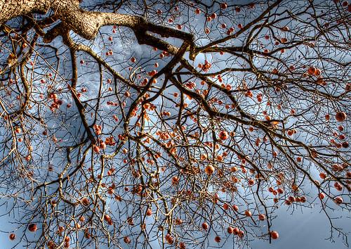 L 39 albero di cachi fontanafredda dorli photography flickr for Albero di cachi