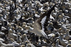 cape gannet | by safarinet