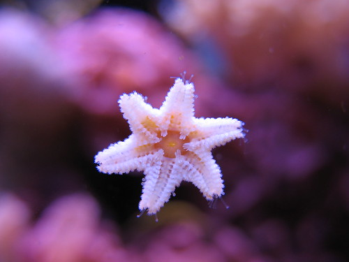 Baby Star Fish! | by sas_pictures_2008