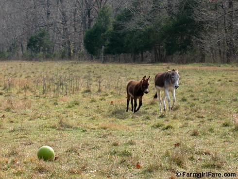 The Daily Donkey 125 - Gnat and Esmeralda run right past the donkey ball | by Farmgirl Susan