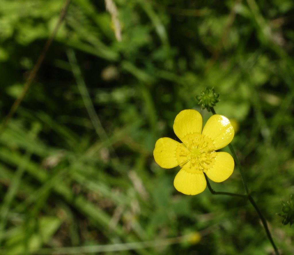 Yellow Five Petal Flower Graeme Flickr