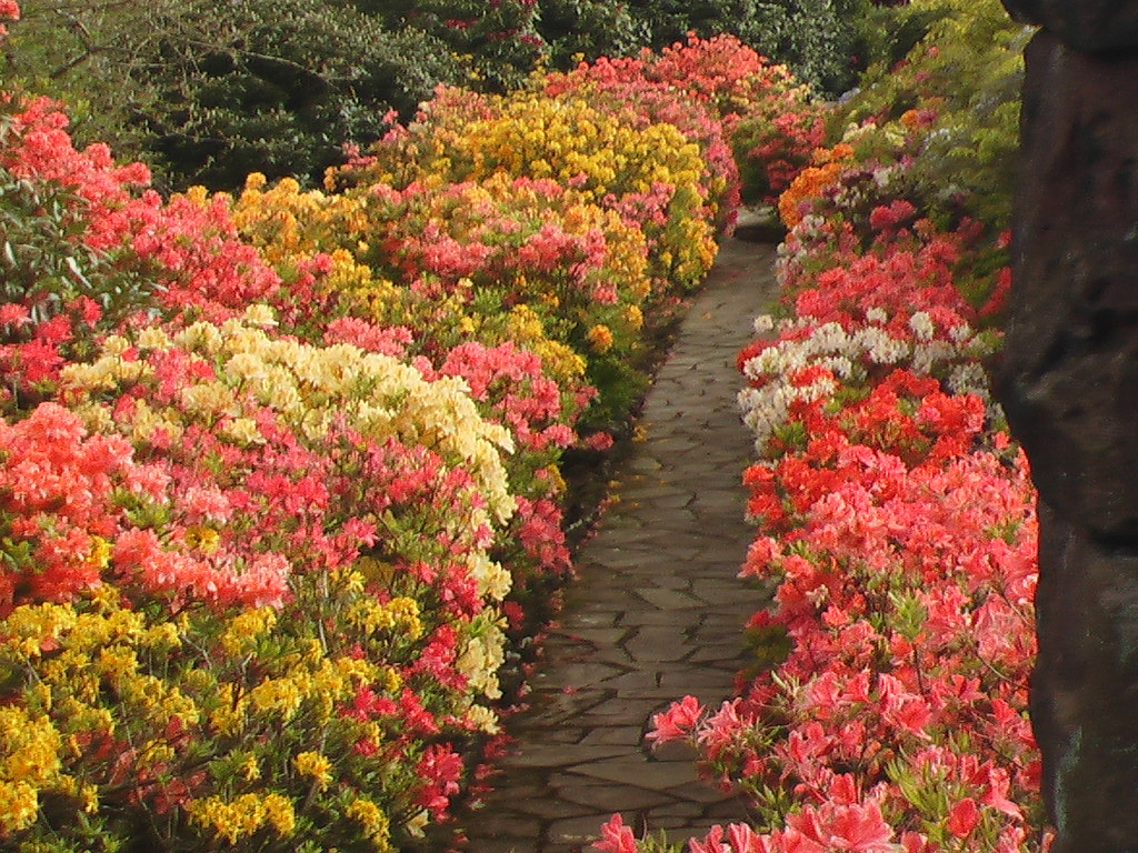 Azalea Walk Tirley Garth Gardens | The Azalea Walk at Tirley… | Flickr
