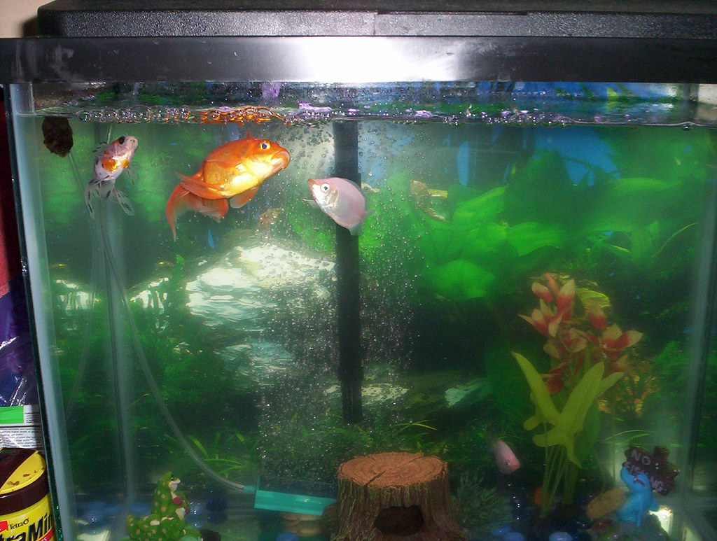 Our Goldfish and Pink Kissers in the 15G tank. (Goldie aka… | Flickr