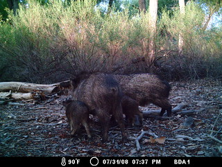 Javelina (Camera trap photo) | by J. N. Stuart