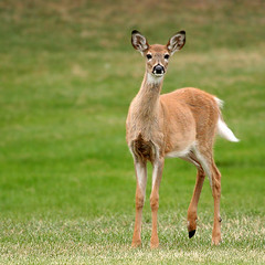 young whitetail doe | by Lynette MT
