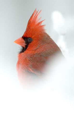 Cardinal male snow | by hoganphoto