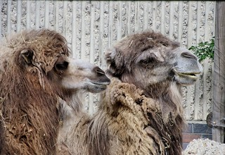 Camel chat | by tvordj