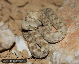 Arabian Saw-Scaled Viper (Echis Coloratus) אפעה מגוון | by HyperViper