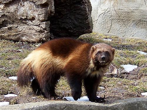 Michigan's Mascot | A wolverine at the Detroit Zoo
