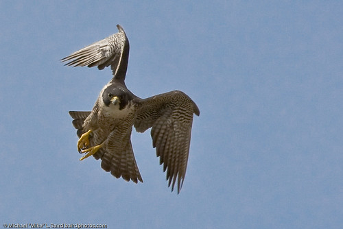 2 of 9 Peregrine Falcon Adult, Morro Bay, CA 27 May 2008 | by mikebaird