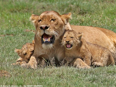 Lion Cubs staying close to nursing Lioness 0R7E1294 | by WildImages
