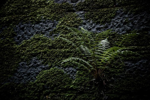 Clingfern | by J e n s