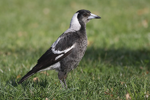 Australian Magpie | by 0ystercatcher