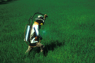 Spraying rice field at tillering stage | by IRRI Images