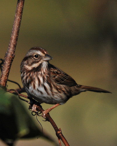 Song Sparrow | by Ed Schneider