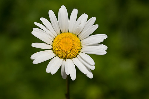 Ox-Eye Daisy (1) | by Freelance Photography by NIKO