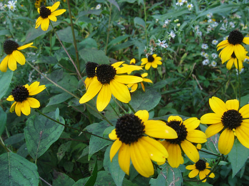 Black-eyed Susans | by Amanda Valley