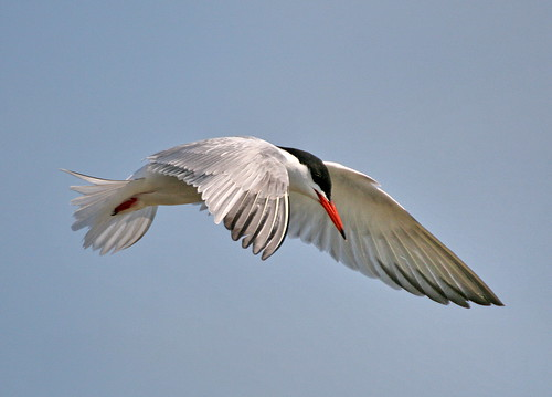 Tern - IMG_8914 | by Alfs photodiary