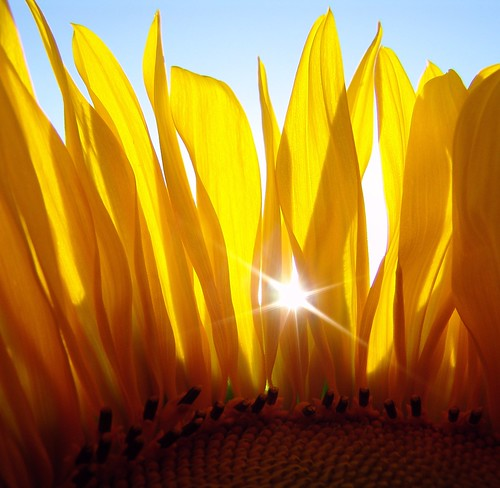 Backlight   inside  sunflower - repost | by paololivorno