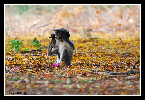 Monkey - Black-footed Gray Langur (Semnopithecus hypoleucos) | by Umang Dutt