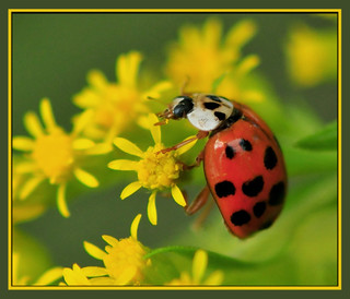 Ladybug Samples The Yellow Appetizer | by Vidterry