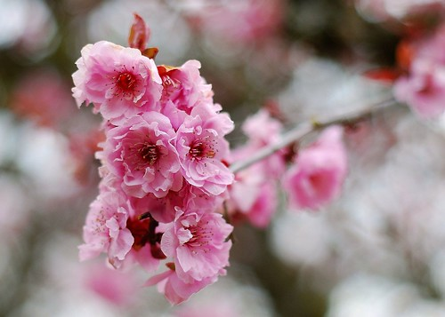 cherry tree in April | by Ray Sinclair