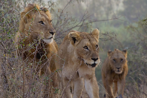 Lions - Panthera leo | by Arno Meintjes Wildlife