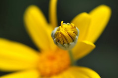 Euryops daisy and a bud | by naruo0720