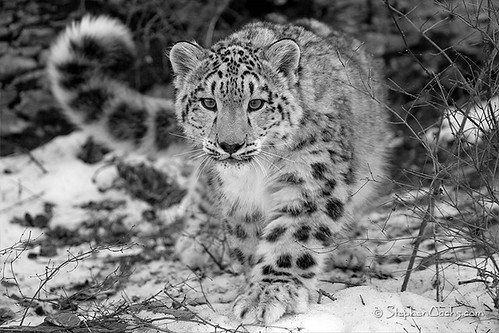 Snow Leopard - National Geographic 1st place Winner! | by Stephen Oachs (ApertureAcademy.com)