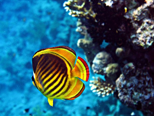 Reply))) Info on striped butterfly fish