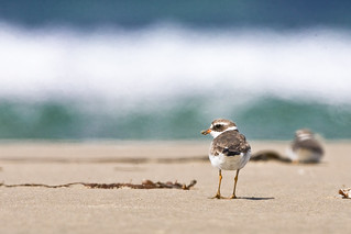 Semipalmated Plover (Charadrius semipalmatus) on Morro Strand State Beach | by mikebaird