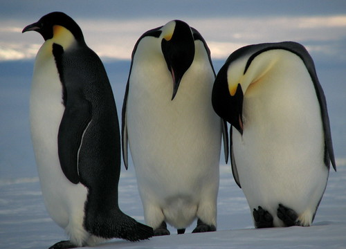 Emperor penguins | by lin padgham