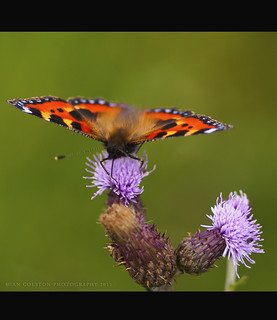 Tortioseshell Butterfly | by Ian....See