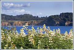 Rita Crane Photography: Mendocino Bay with Wild Lupines | by Rita Crane Photography