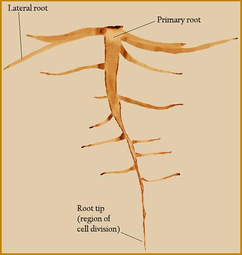 root diagram for plantstop blogspot bryce flickr : root diagram - findchart.co