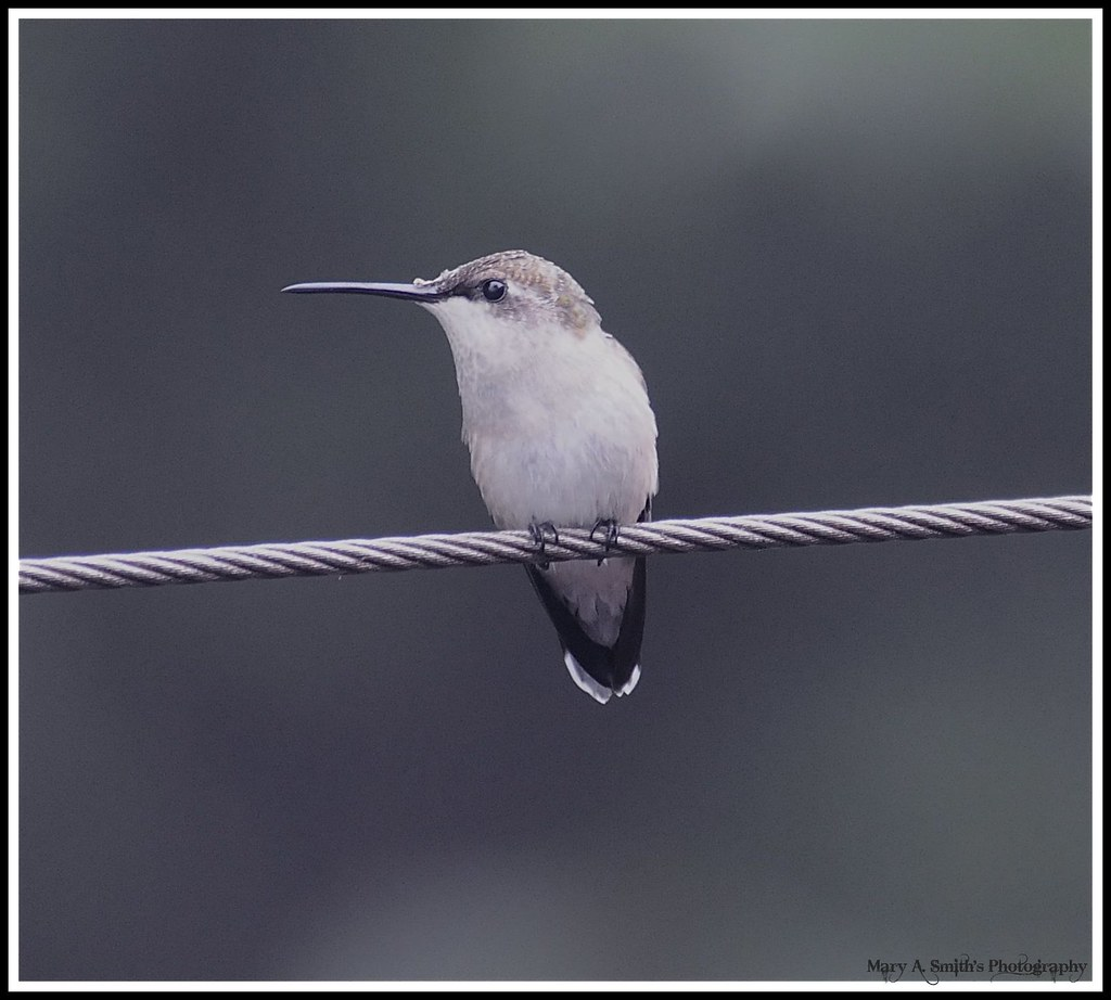 Bird on a wire ~ | #294 on Explore, September 23/08 Lots of … | Flickr