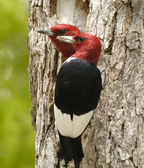 Red Headed Wood Pecker Pair | by hoganphoto