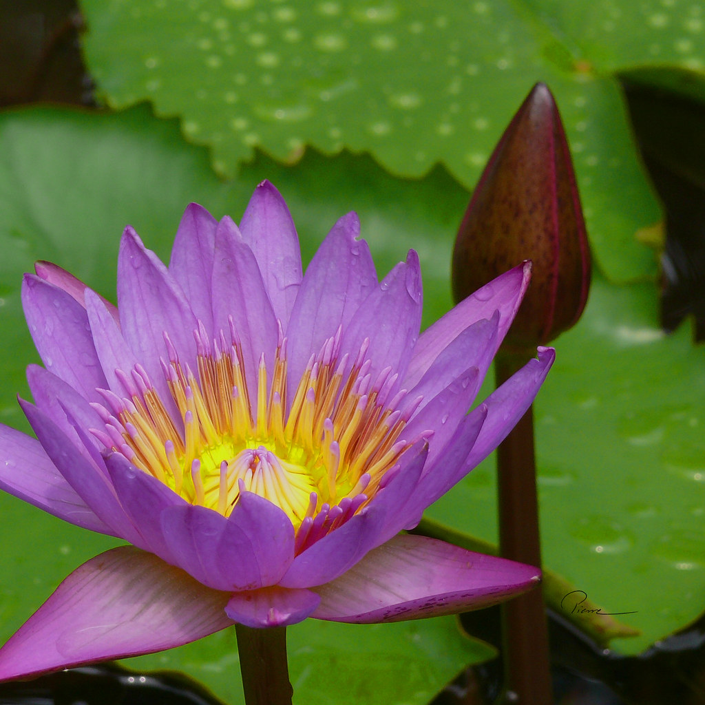 Lotus Flower And Bud Suzhou China Pierre Nordstrm Flickr