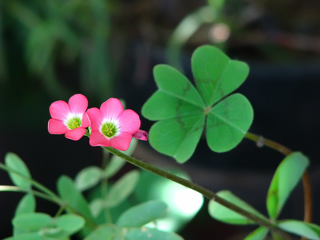 a four leaf clover or oxalis and its flowers spring lit u2026 flickr