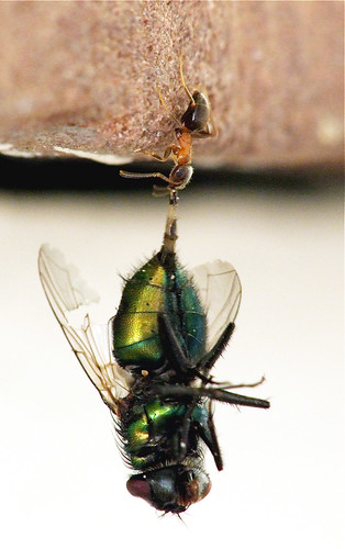 Power Ant Fly : Power ant a free climbing tries to drag fly up the