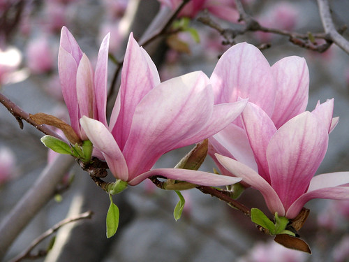 fleur de magnolia magnolia flower fleur de magnolia. Black Bedroom Furniture Sets. Home Design Ideas